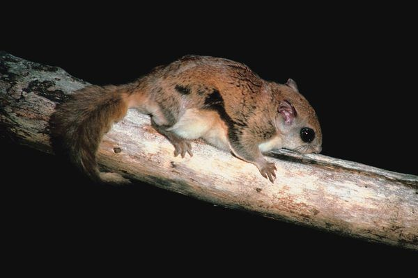 Flying squirrel diet