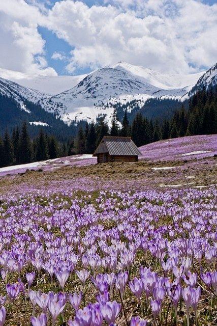 Crocus field, Tatra Mountains, Poland