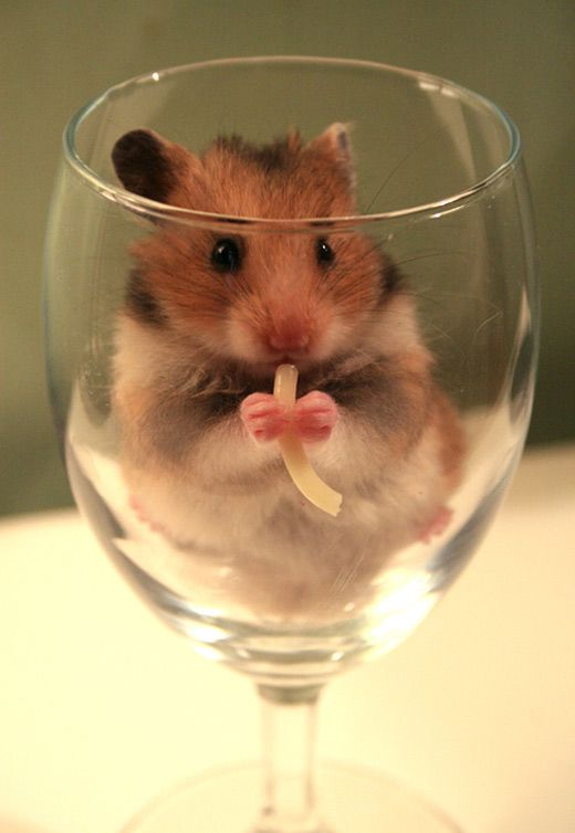 Goblet eating hamster picture photos photography