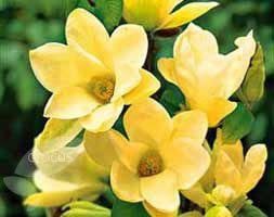 Magnolia denudata 'Yellow River ('Fei Huang')'