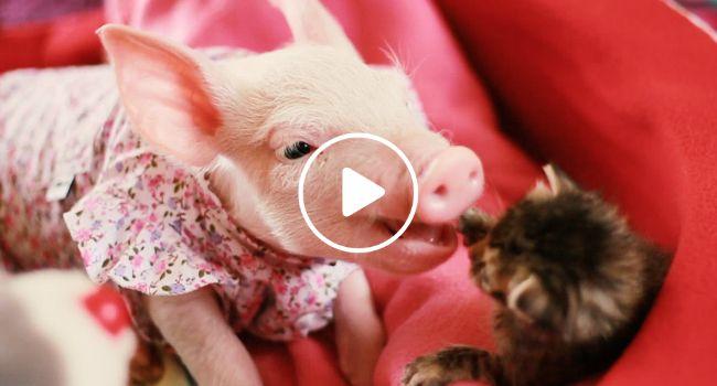 Porquinha e Gatinha Resgatadas Encontram a Paz Uma Na Outra