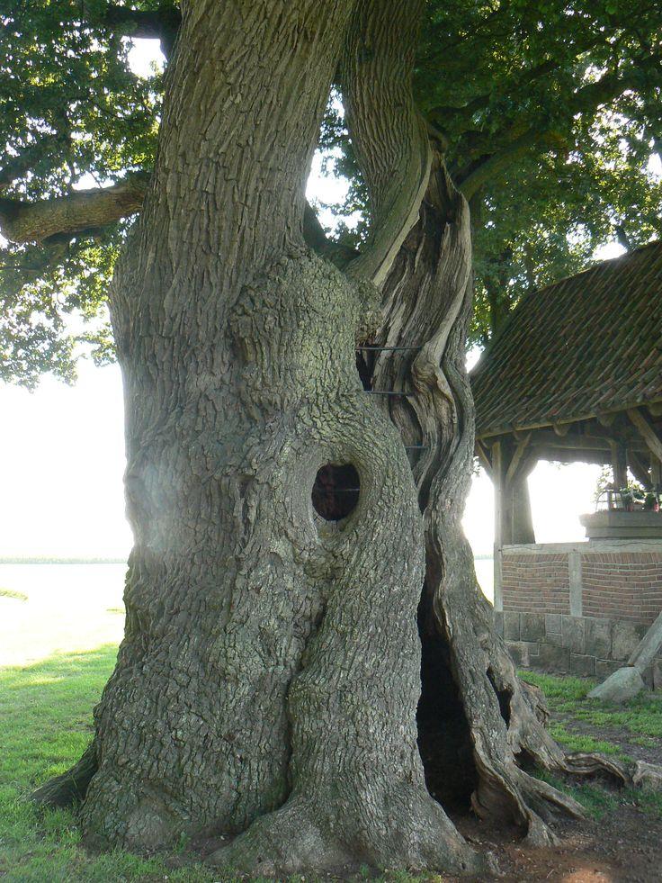 Kroeseboom, Fleringer Es bij Tubbergen, mogelijk oudste eik in Nederland