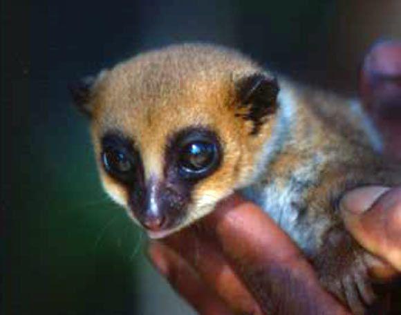 a newly recognized species of lemur female lavasoa dwarf lemur cheirogaleus lavasoensis at