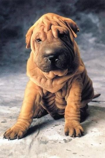 Shar Pei Dogs And Chinese Dog On Pinterest