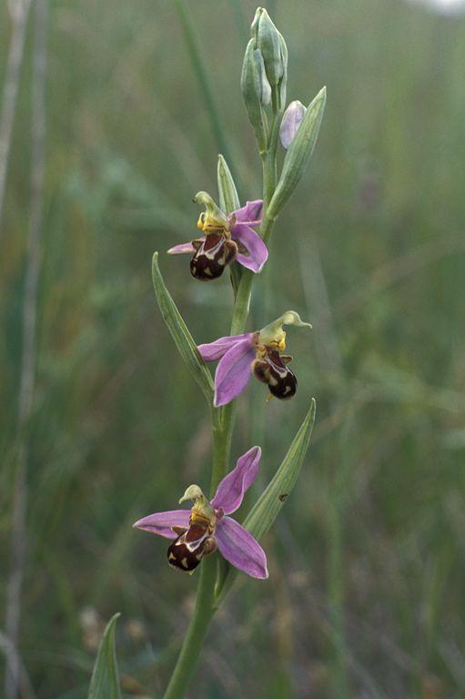 Une Ophrys apifera observée dans le domaine nationale de Saint-Germain-en-Laye. Des espèces rares ont pu y être observées. (C) G. Arnal