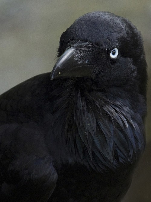 American Crow 12/25/13