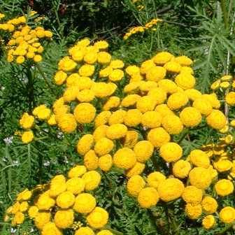 Tansy - (Tanacetum vulgare)-can be used for dyeing!