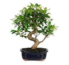 Indoor Bonsai Trees For Sale
