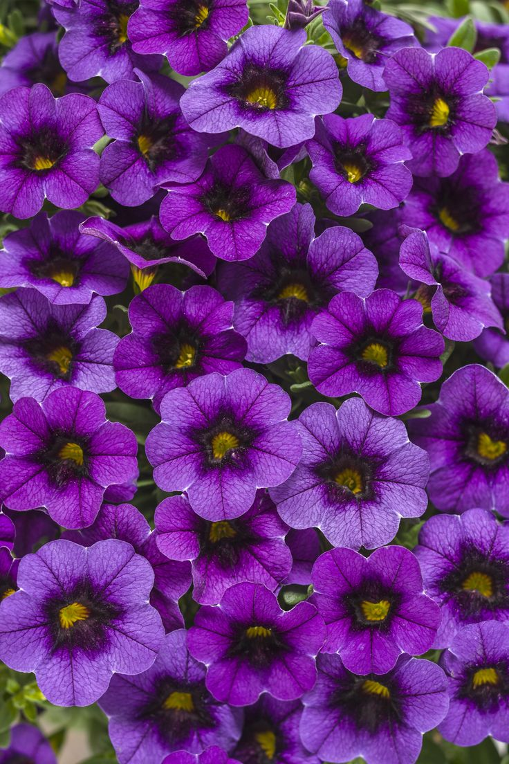 26 best sun annuals images on pinterest proven winners geraniums proven winners superbells grape punch calibrachoa hybrid purple purple with a large deep plummy black eye plant details information and resources izmirmasajfo