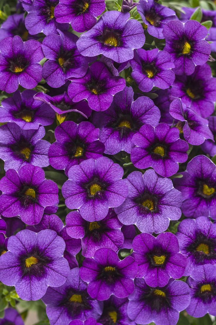 26 best sun annuals images on pinterest proven winners geraniums superbells grape punch calibrachoa izmirmasajfo Choice Image