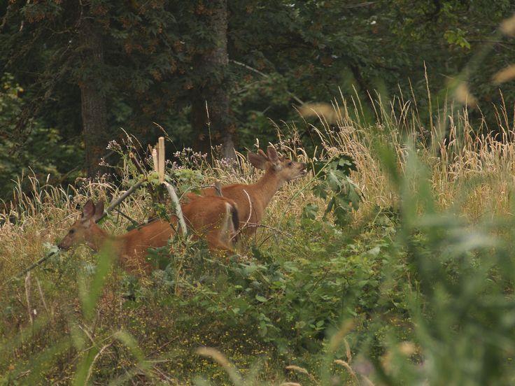 https://flic.kr/p/JSGfGA | Morning guests | Columbian  black-tailed deer   (Odocoileus hemionus  columbianus)