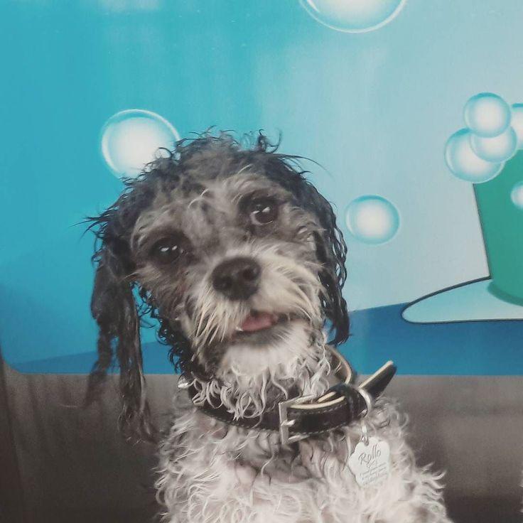 Almost looks like hes singing hshas Happy doggie!! @k9000dogwash #k9000photocomp #bleeping #maltiselove #henrygetsagoodwash #bathtime #warrnambool #warrnambooldogs #dogs3280 #loveyourollo by ovphoto33