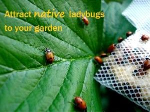 Attract native ladybugs to your garden instead of buying commercially available beetles (which are an aggressive invasive species).