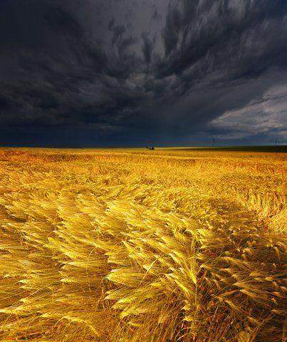 Golden field in a storm