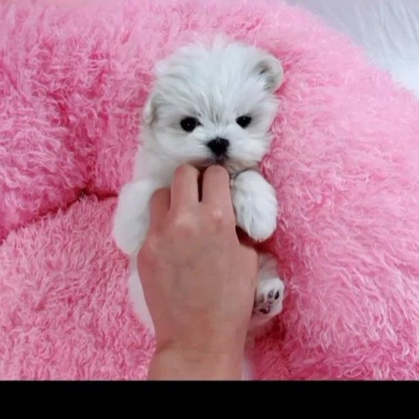 Teacup Maltese Https Www Alohateacuppuppies Com Puppy