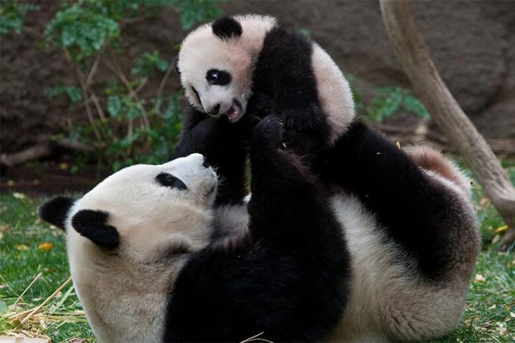 Mature female giant pandas in the wild usually breed just once every two or three years and typically bear about five litters in their lifetime.