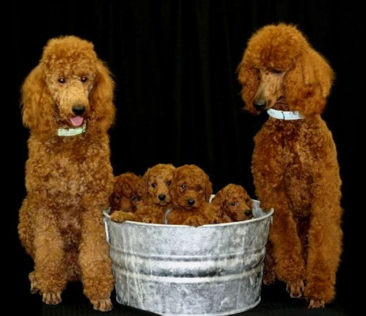 Poodles  I love  this - they are such a cute family!