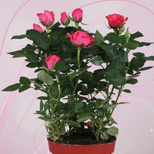 Pink Rose 1 Plant + Planter + FREE Chocolate Hearts