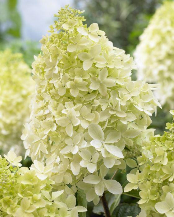 best 25 hydrangea paniculata ideas on pinterest. Black Bedroom Furniture Sets. Home Design Ideas