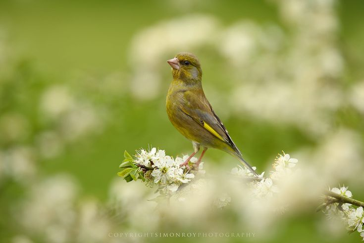 A gorgeous male Greenfinch (Carduelis carduelis) amongst Blackthorn blossom. York, UK, April
