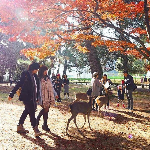 What to do when deadlines in real life are after you like zombies: Post a photo on Instagram imagining life is wonderful 😂 #FriyayNot (#throwbackfriday to watching deers during autumn in Kyoto) #PetiteWanderessInJapan --------------------------------------------  🌎Travel blog @ ThePetiteWanderess.com  🐥Tweet me! @ PetiteWanderess  💃🏼FB: @ ThePetiteWanderess --------------------------------------------  #ig_japan #visittokyo #京都市  #京都 #奈良の鹿 #奈良公園 #奈良 #travelsnaps #goexplore #travellife…