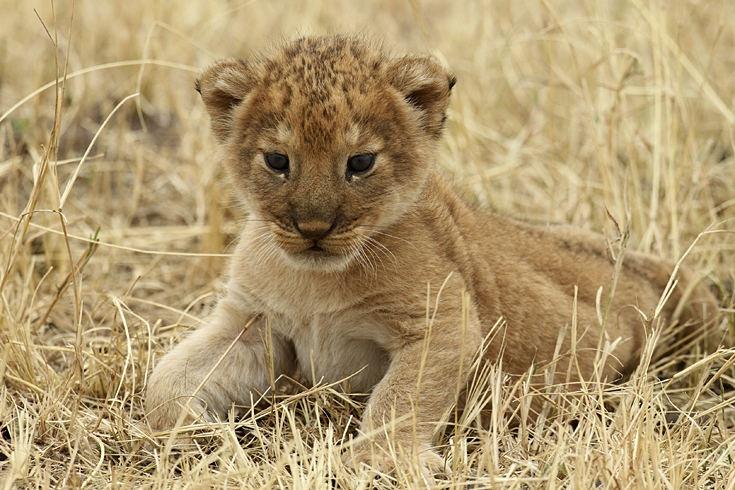 Klein, aber wild  Serengeti-Nationalpark, Tansania. Ein Löwenjunges ruht sich in der Nachmittagshitze aus. Der Serengeti-Nationalpark zählt zu den größten und bekanntesten Nationalparks der Welt und gehört zum Unesco-Weltnaturerbe.