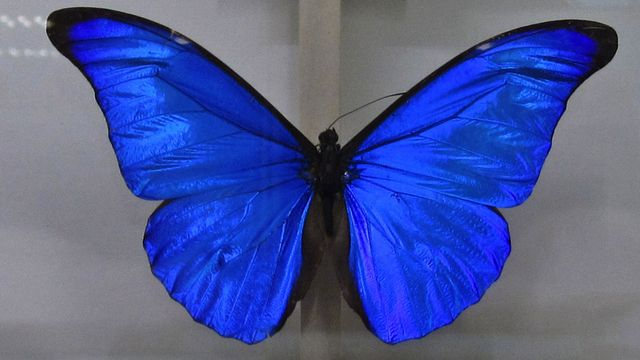 Il risque la prison pour le meurtre de papillons rares