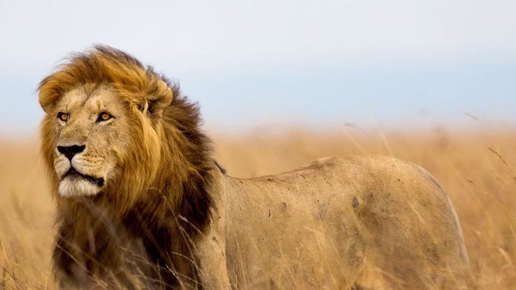 Cecil the Lion Killing Highlights Flourishing Trophy Hunter Market ...