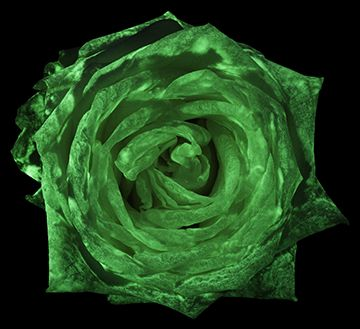 Magical flower - rose - glows in the dark. www.facebook.com/flavatar.hu #flAVATAR #glowsinthedark