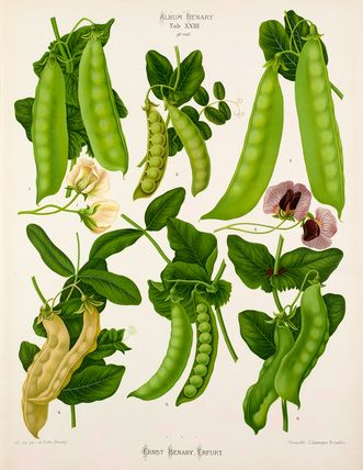 A chromolithograph plate of Sugar or Edible Podded Pea varieties taken from the Album Benary. The Album contains 28 colour plates in total of vegetable varieties by Ernst Benary which are named in the accompanying page in German, English, French and Russian. Creator: Benary, Ernst (1819-1893). Date: 1879