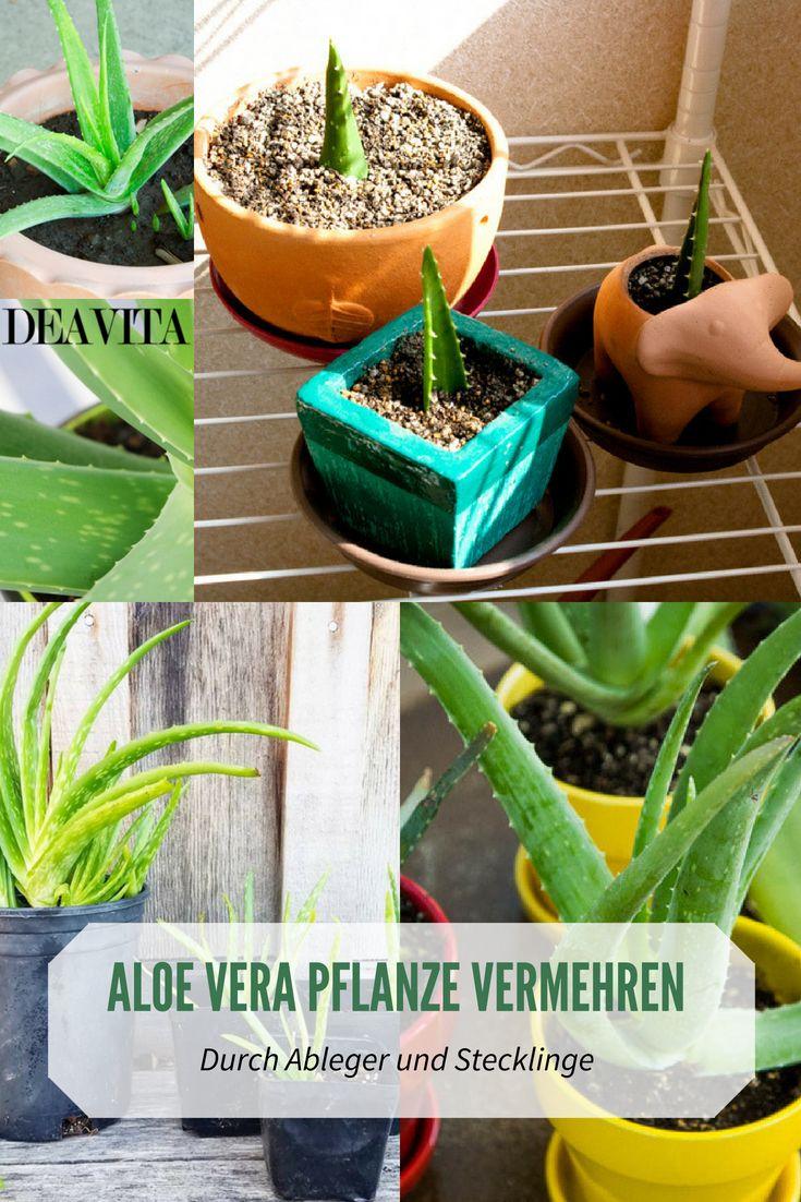 Aloe Vera Pflanze Ableger