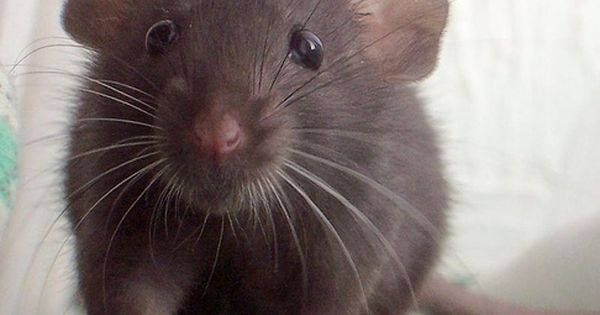 Just Pinned to RattieFluffs: Originally native to parts of China Siberia and Japan the brown rat is now found virtually worldwide. The brown rat is a sociable species and usually lives in groups which have a dominance hierarchy and defend a territory. http://ift.tt/2qAF1p0