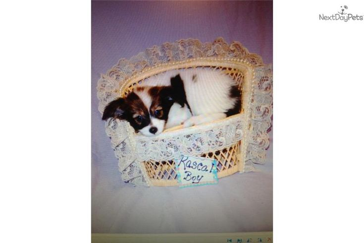 Meet SPANKY a cute Papillon puppy for sale for $800. BEAUTIFUL PAPILLON MALE PUPPY