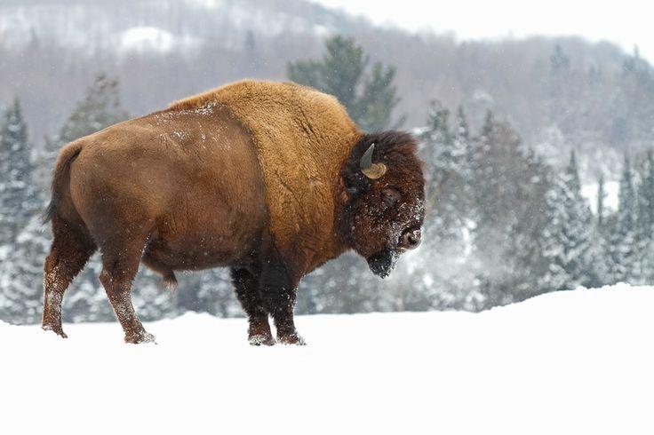 Bison by Jim Cumming on 500px