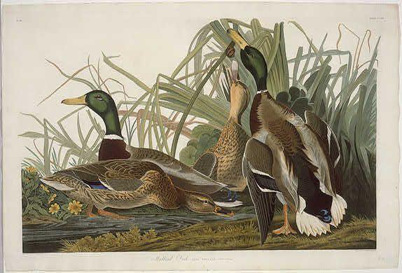 'Кряква' по Robert Havell (1793-1878, United Kingdom)