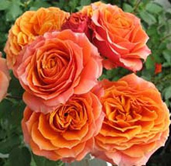 Orange Garden Rose 74 best some roses images on pinterest | rose varieties, garden