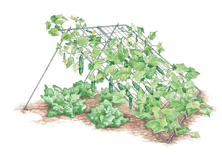Trellising cucumbers and vining squash gives better quality fruit, easier harvesting, and avoids soil-borne diseases      Use in raised beds or in-ground gardens     Misshapen, yellowed cucumbers will be a thing of the past when you use this space-saving trellis to support plants in your garden