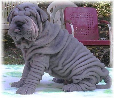 The age old belief that the wrinkles of Shar Pei skin are a natural charecteristics, has now been proved wrong! According to the scientists its a disease caused by the accumulation of excessive hyaluronic acid in the sub-cutaneous region as well as in their blood stream too. http://welcomedoglovers.blogspot.in/2009/01/shar-peis-wrinkle-dogs-long-held.html