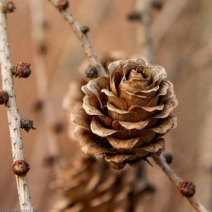(with Needles) & Pine Cones On