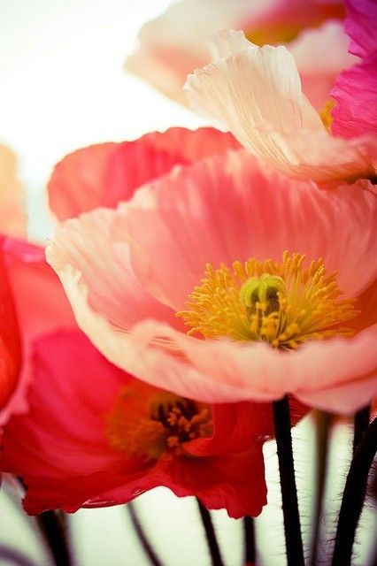 Poppies...poppies...: Color, Beautiful Flowers, Bloom, Poppies, Pink, Garden, Floral, Favorite Flower