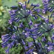 Botanical name: Agapanthus 'Back In Black'  Other names: African lily 'Back In Black', Lily of the Nile 'Back In Black'  Genus: Agapanthus  Variety or cultivar: 'Back In Black' _ 'Back In Black' is a clump-forming perennial with bright green, strap-like basal leaves and erect, black stems bearing large umbels of tubular, dark purple-blue flowers in summer.