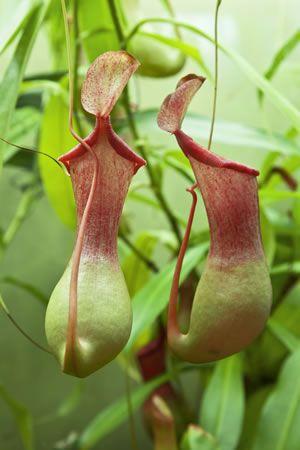 Kannenpflanze, Nepenthes - Pflege, Vermehren durch Ableger