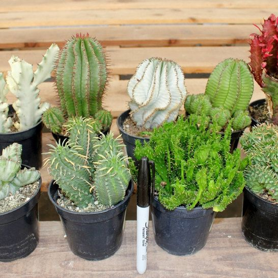 8 euphorbia cactus succulents for sale in their 3 5 round Cactus pots for sale