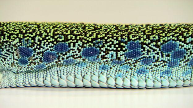 Des chercheurs genevois ont prouvé que l'évolution des motifs du lézard ocellé peut être expliquée par un système mathématique inventé en 1948. Une découverte qui fait la couverture du journal scientifique Nature.