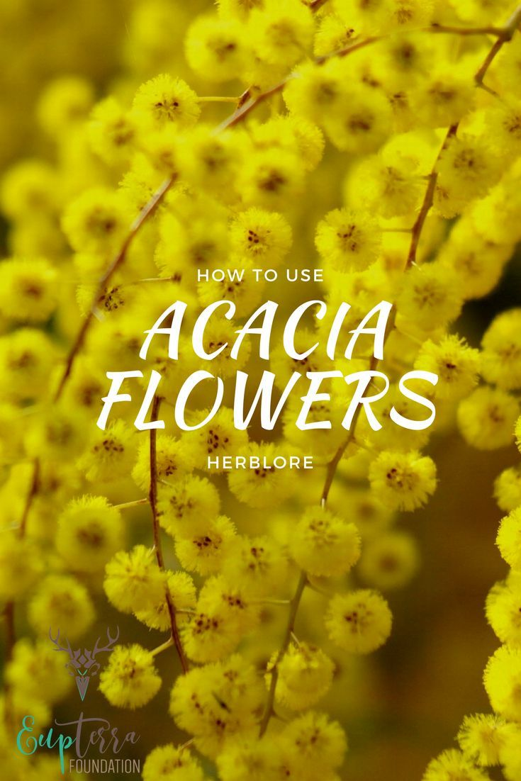 The Usefulness Of Acacia How To Incorporate It In Your Life Eupterra Foundation Herbalism Herbal Infusion Natural Wellness