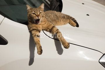 A Sleepy Stray Cat Laying Down on A Car and Yawning