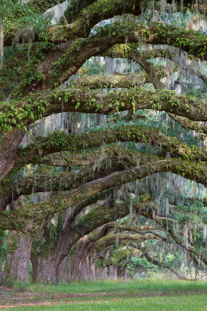 moss draped oaks.
