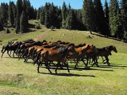 horses from Fagaras county