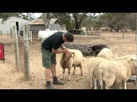 Real experience from a Sheep Dairy! - Island Pure