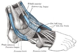 Extensor Digitorum Longus OriginAnterior lateral condyle of tibia, anterior shaft of fibula and superior ¾ of interosseous membrane InsertionDorsal surface; middle and distal phalanges of lateral four digits Arteryanterior tibial artery Nervedeep fibular nerve Actionsextension of toes and dorsiflexion of ankle AntagonistFlexor digitorum longus, Flexor digitorum brevis